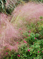 Grass - Pink Muhly