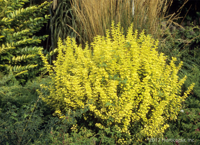 Barberry - Golden Japanese