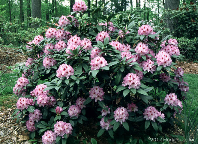 Rhododendron, cawtawbiense