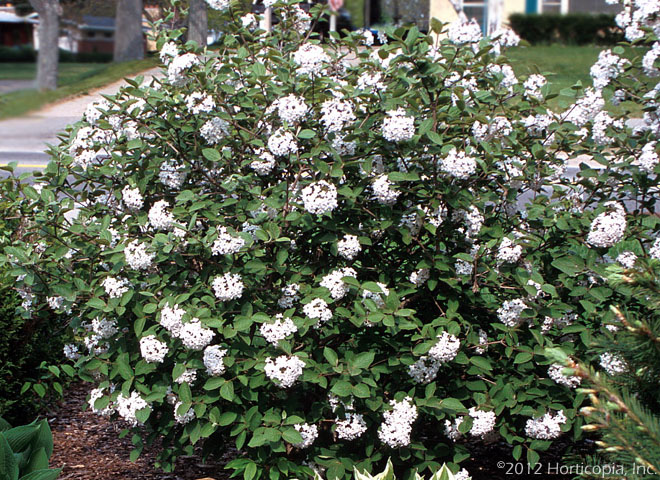 Viburnum, Fragrant