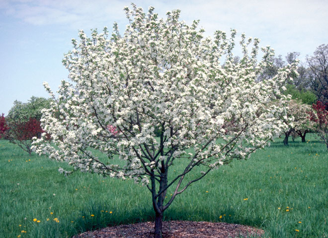 Crab Apple, Sargent